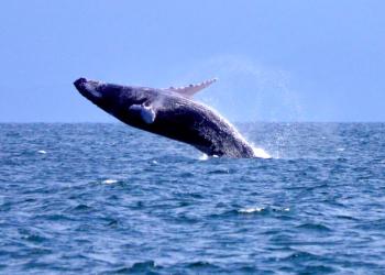 Observación de ballenas en Samaná